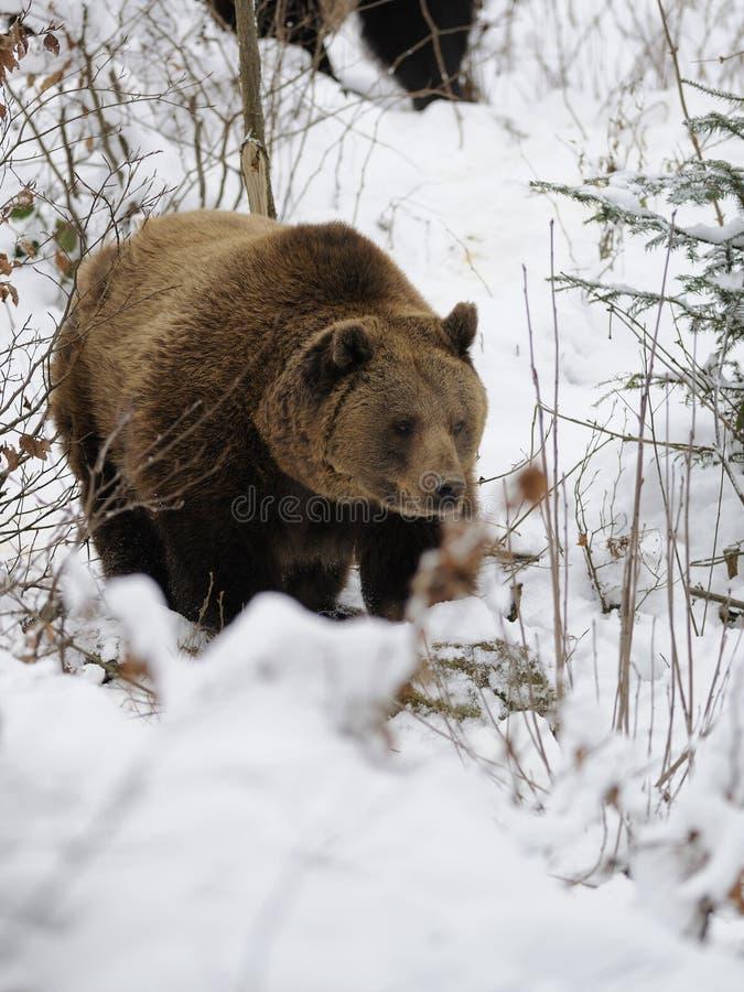 Orso di Brown (arctos del Ursus) fotografia stock