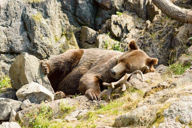 Orso di Brown, arctos del Ursus immagine stock libera da diritti