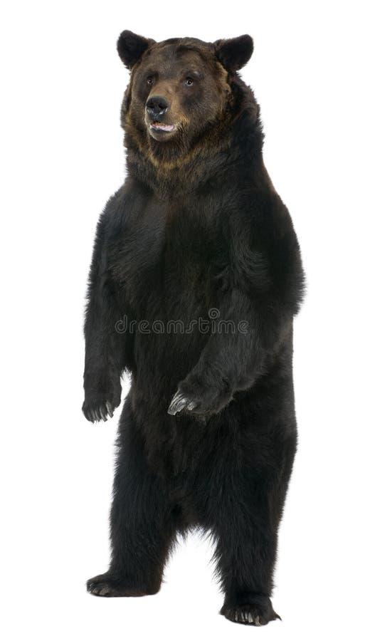 Orso di Brown femminile, 12 anni, levantesi in piedi fotografie stock