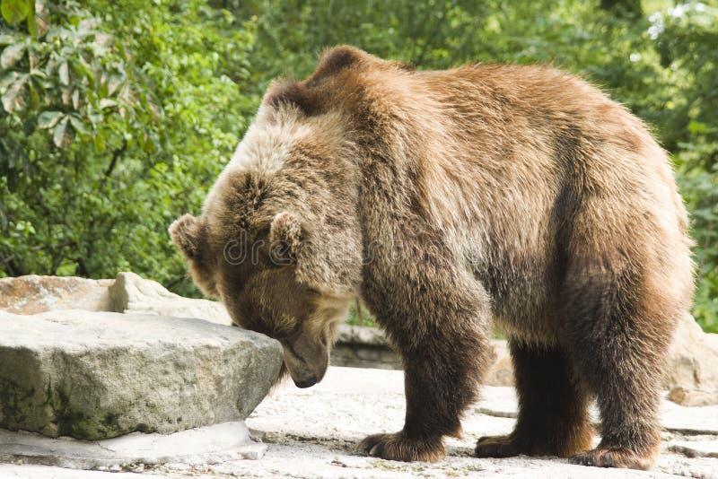 Orso di Brown in giardino zoologico fotografie stock libere da diritti