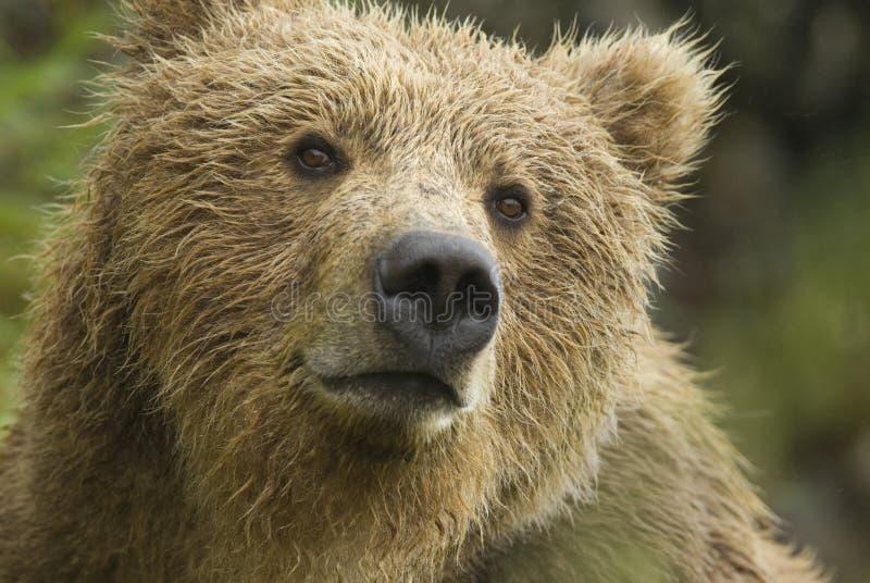 Orso di Brown nella pioggia. Fiume di McNeil, Alaska. fotografia stock