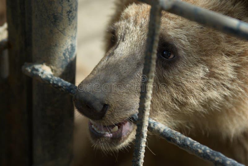 Orso di Brown nella prigionia fotografie stock
