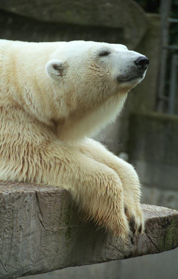 Orso di ghiaccio immagini stock libere da diritti
