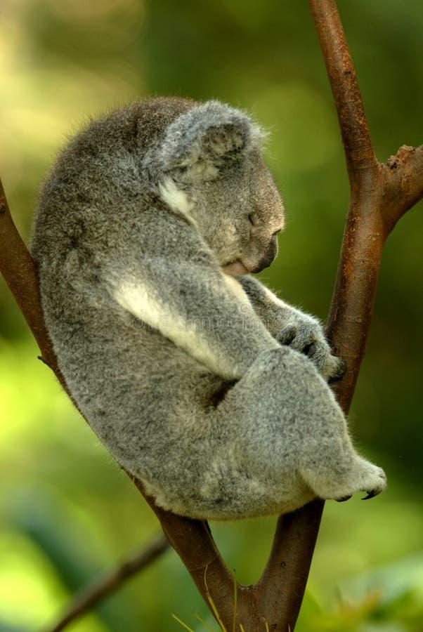Orso di Koala immagine stock