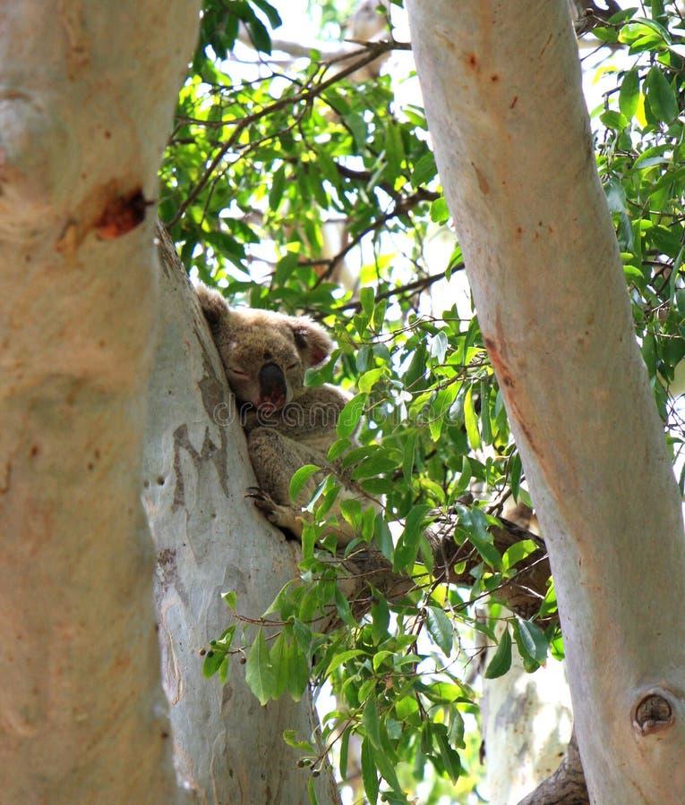 Orso di koala sonnolento in un albero di gomma immagine stock