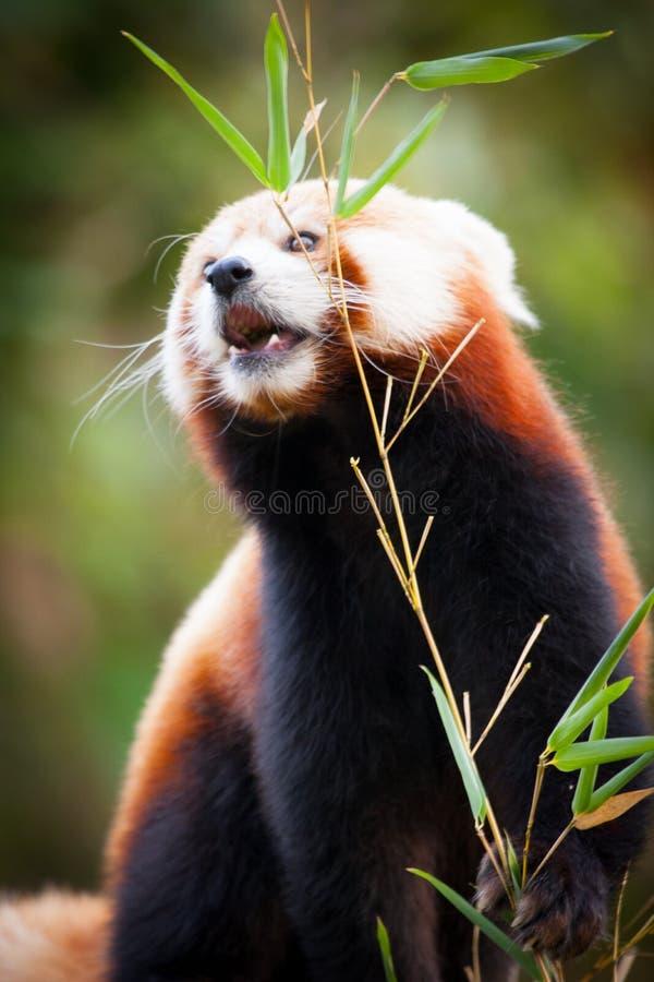 Orso di panda minore, fulgens del Ailurus, nel suo habitat naturale fotografia stock libera da diritti