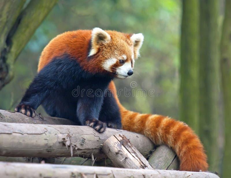 Orso di panda rosso curioso fotografia stock