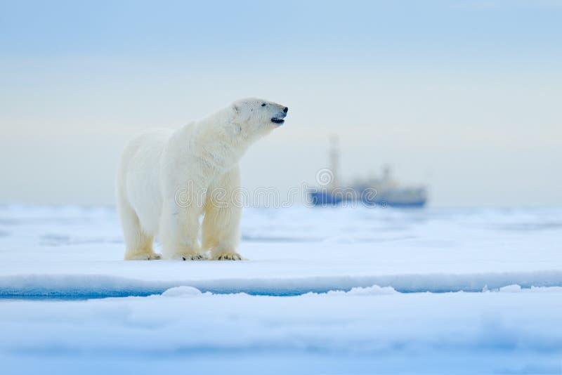 Orso e barca Polare riguardi il ghiaccio di spostamento con neve, nave vaga di crociera nel fondo, le Svalbard, Norvegia Scena de immagine stock