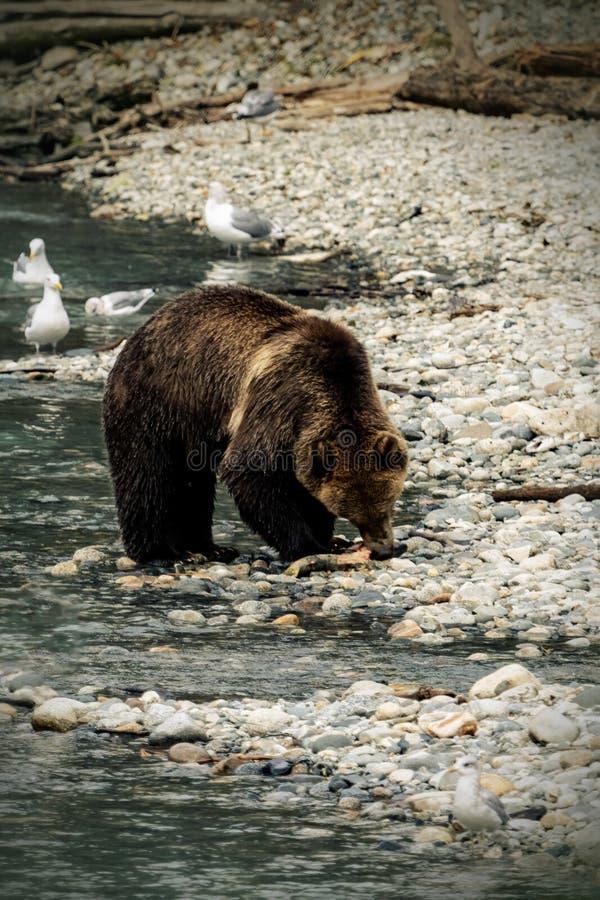 Orso grigio che mangia pesce sulla sponda del fiume immagine stock