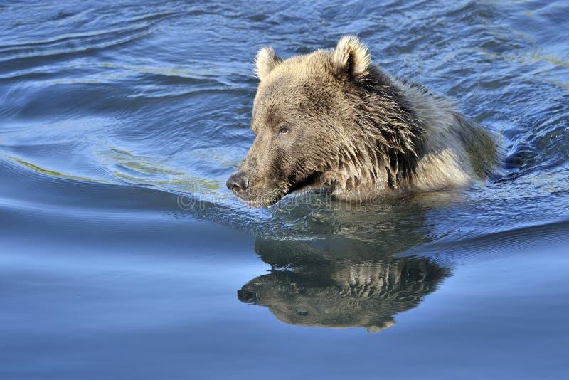 Orso grigio che nuota fotografia stock
