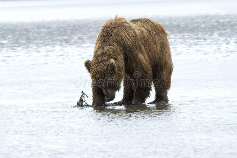 Orso grigio che scava per le vongole nell'Alaska fotografie stock libere da diritti