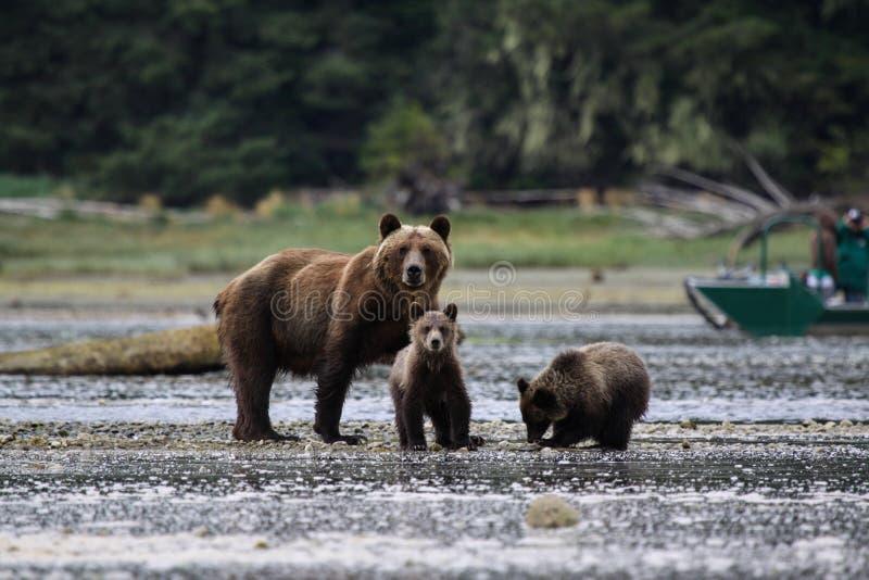 Orso grigio della famiglia dell'orso immagine stock libera da diritti