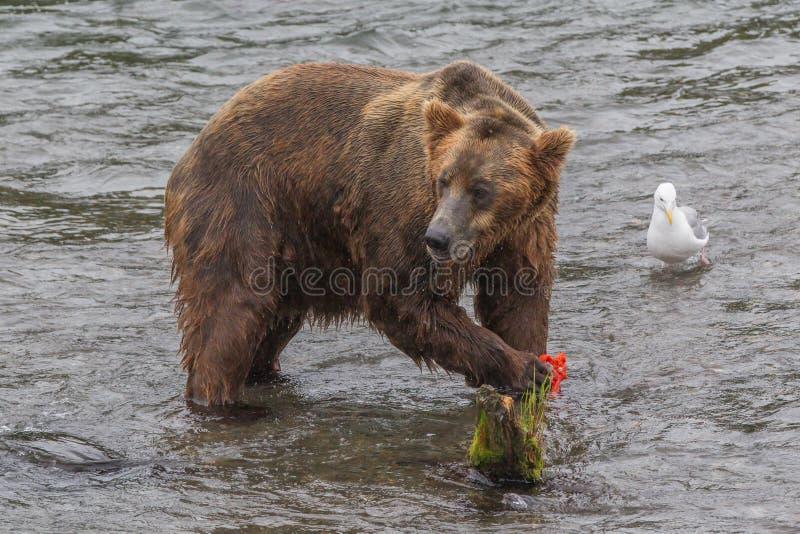 Orso grigio in horribilis di arctos di ursus dei salmoni di cacce del parco nazionale dell'Alaska Katmai immagine stock