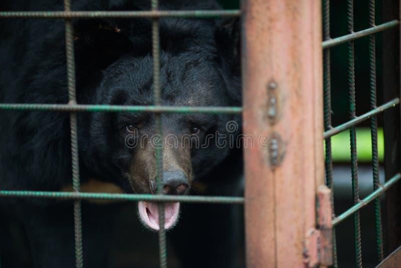 Orso himalayano in una gabbia di ferro fotografia stock libera da diritti