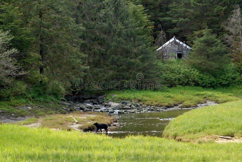 Orso in Ketchikan Alaska fotografia stock libera da diritti