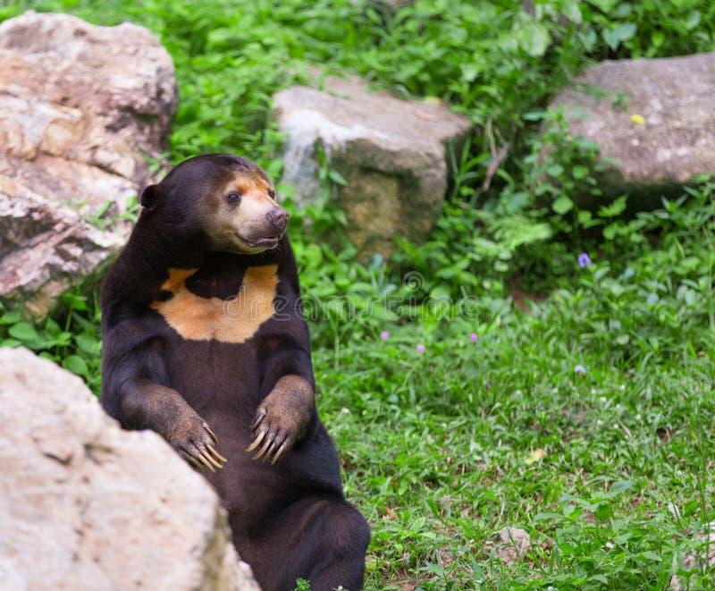 Orso malese di miele o dell'orso malese nella stagione di accoppiamento immagini stock libere da diritti