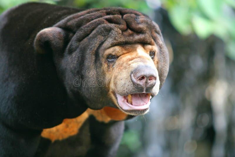 Orso malese di Sun fotografia stock libera da diritti