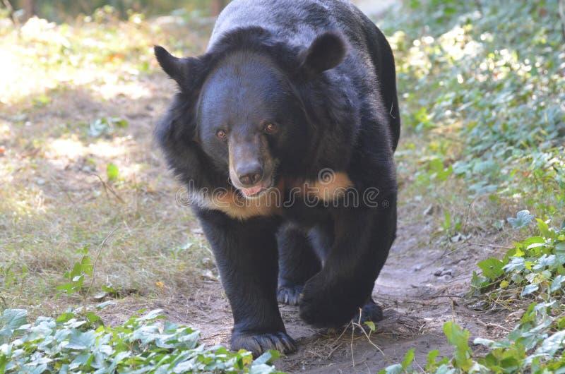 Orso malese incoerente con un fronte molto dolce immagine stock libera da diritti
