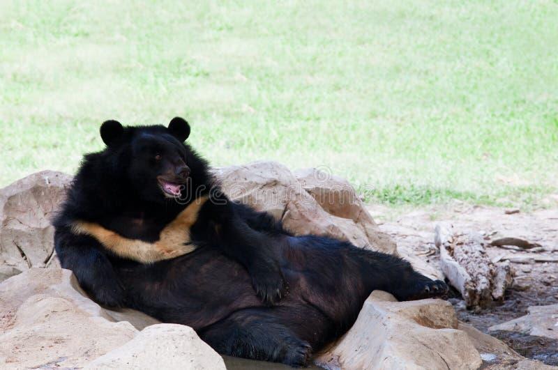 Orso malese malese che si trova sulla terra nell'uso dello zoo per gli animali di zoologia e sulla vita selvaggia nella foresta de immagini stock