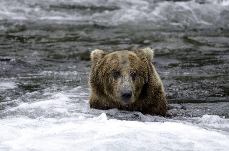 Orso marrone d'Alasca nei rapids fotografie stock