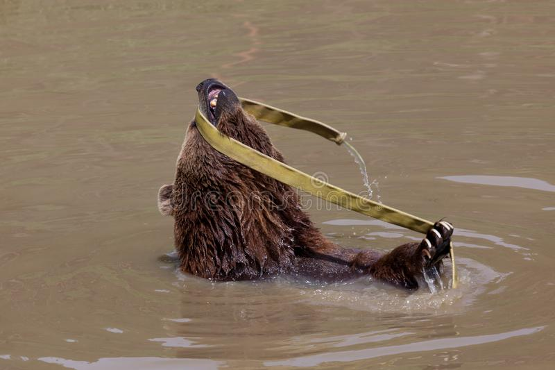 Orso marrone divertente fotografie stock libere da diritti