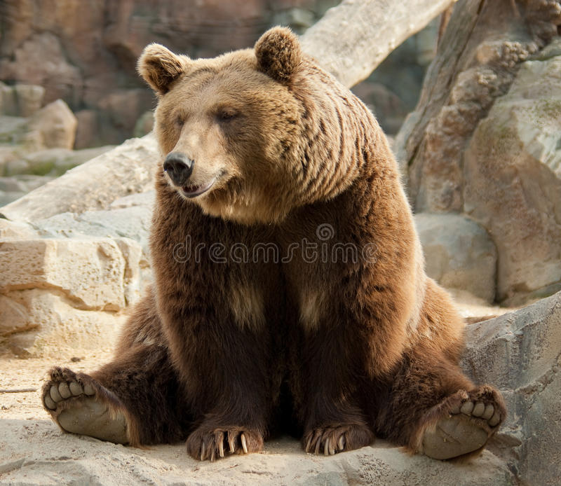 Orso marrone divertente fotografia stock libera da diritti