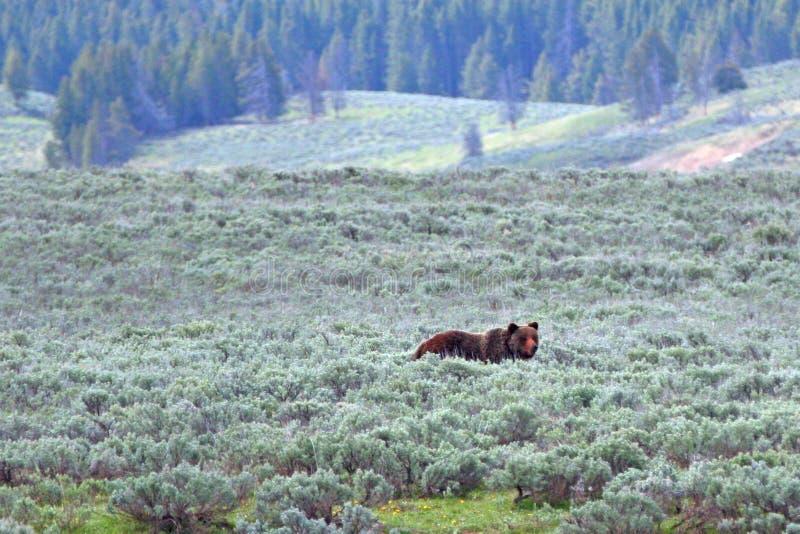 Orso maschio dell'orso grigio in Hayden Valley nel parco nazionale di Yellowstone nel Wyoming U.S.A. fotografie stock