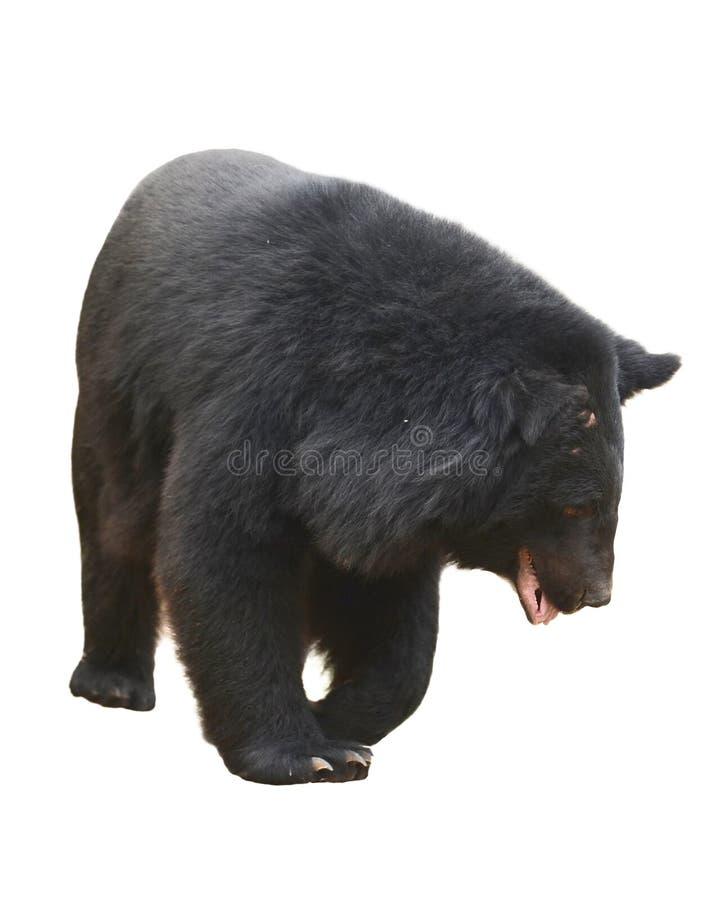 Download Orso nero asiatico immagine stock. Immagine di omnivorous - 30828683
