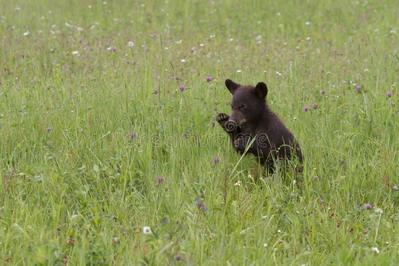 Orso nero del bambino che gioca nei Wildflowers fotografia stock