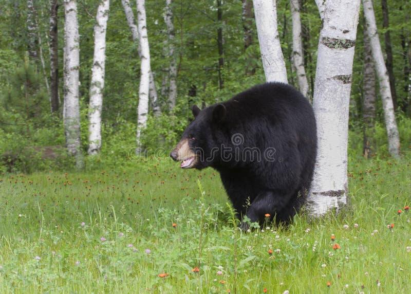 Orso nero negli alberi di betulla fotografia stock