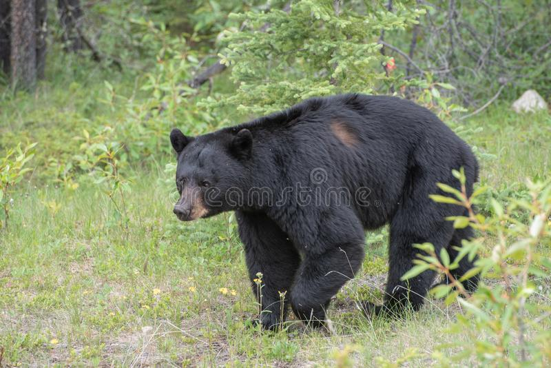 Orso nero nel parco nazionale di Jasper immagini stock