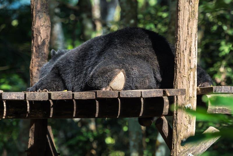 Orso nero nella conservazione animale, cascate di Tat Kuang Si, Luang Prabang, Laos fotografia stock libera da diritti