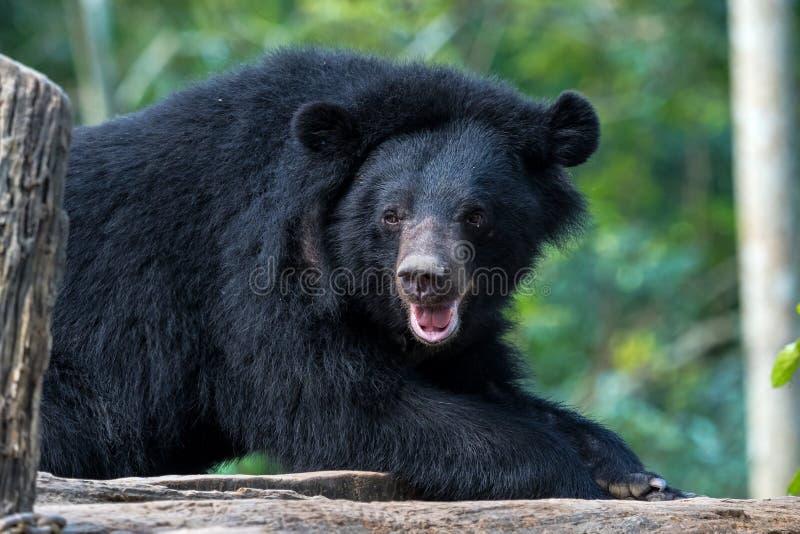 Orso nero nella conservazione animale, cascate di Tat Kuang Si, Luang Prabang, Laos immagine stock