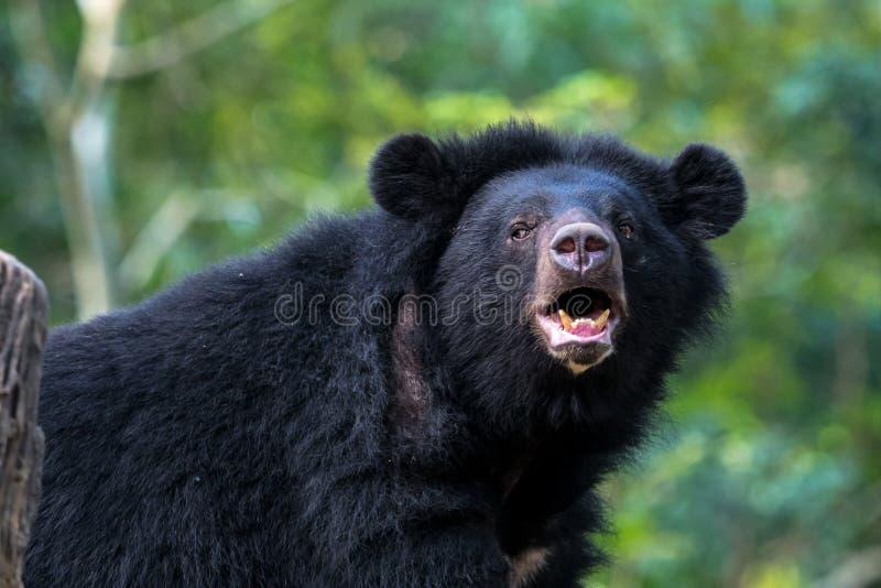Orso nero nella conservazione animale, cascate di Tat Kuang Si, Luang Prabang, Laos immagini stock libere da diritti