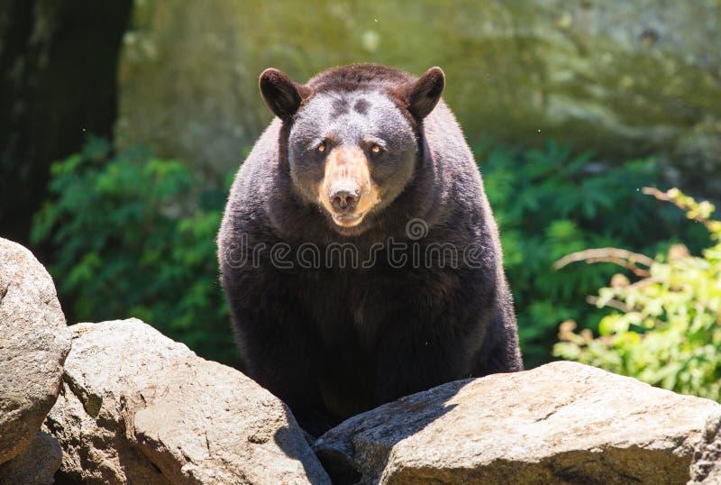 Orso nero nordamericano - Nord Carolina fotografie stock