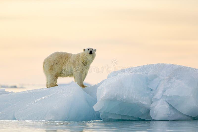 Orso polare immagine stock