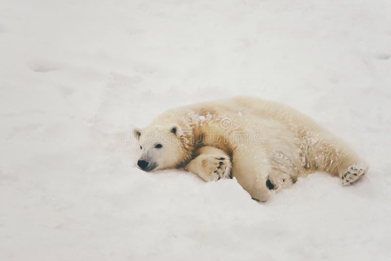 Orso polare bianco nella foresta della neve immagini stock libere da diritti