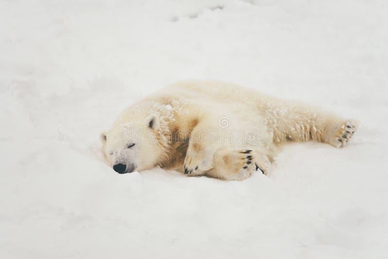 Orso polare bianco nella foresta della neve fotografia stock libera da diritti