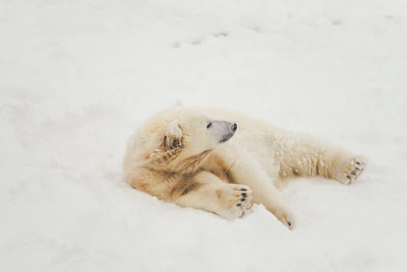 Orso polare bianco nella foresta della neve fotografie stock