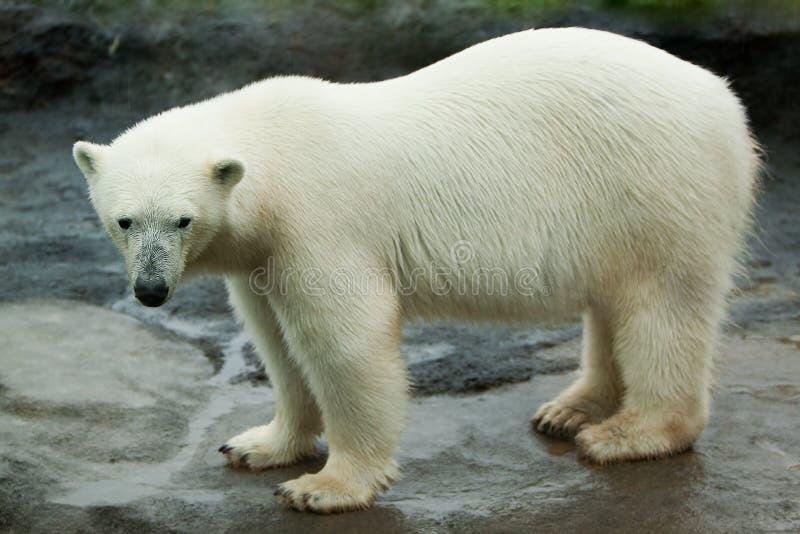 Orso polare che cammina sulla roccia immagini stock libere da diritti