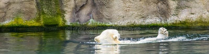 Orso polare che nuota nell'acqua, specie animale vulnerabile dal Circolo polare artico, comportamento animale tipico fotografia stock