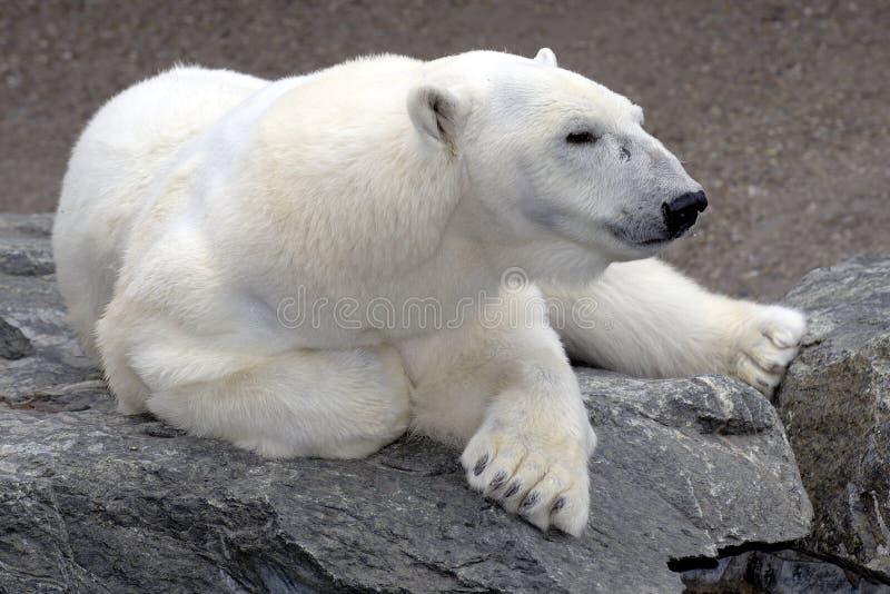 Orso polare che si distende sulla roccia immagini stock