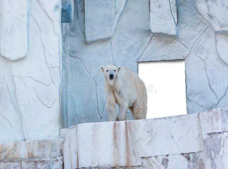 Orso polare che sta con il bordo bianco a dietro fotografia stock libera da diritti