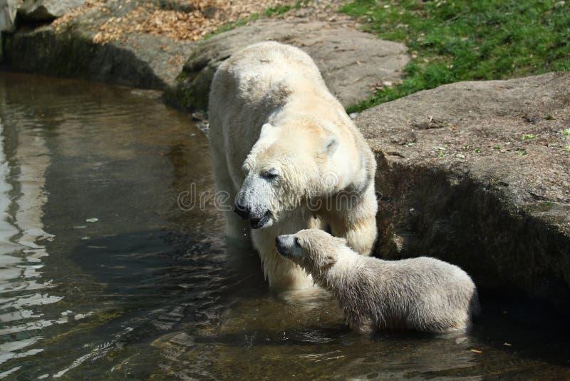 Orso polare con il bambino immagini stock libere da diritti