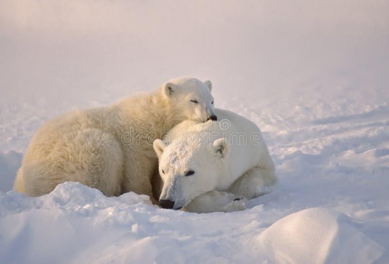 Orso polare con il suo cub fotografia stock