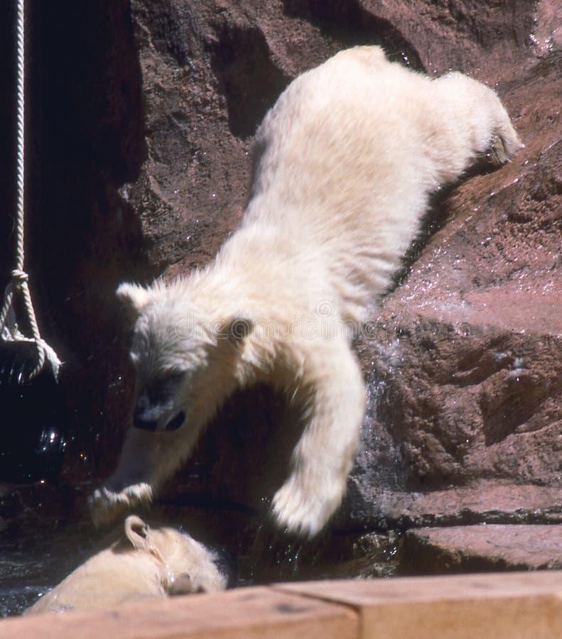 Orso polare Cub fotografia stock