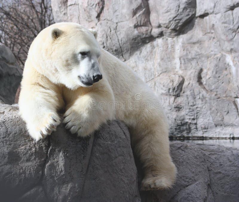 Orso polare di riposo immagine stock