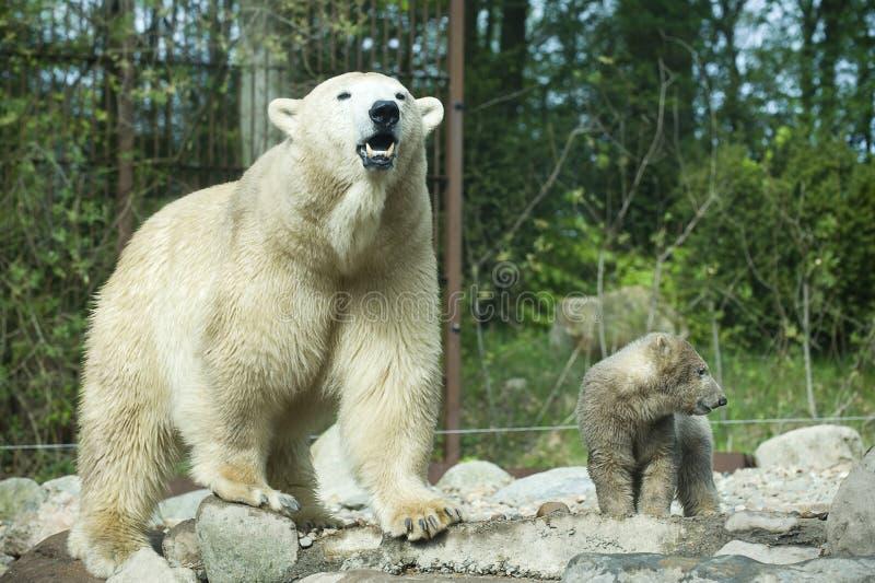 Orso polare di urlo con il cub (prigioniero) immagini stock libere da diritti