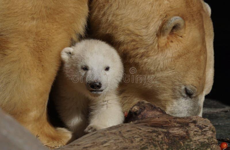 Orso polare e cub fotografie stock libere da diritti