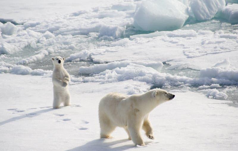 Orso polare e cucciolo immagine stock